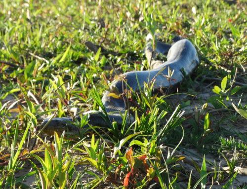 Campaña de trabajo en el marco del Programa de Conservación e Investigación  de la Boa Curiyú en la provincia de Entre Ríos