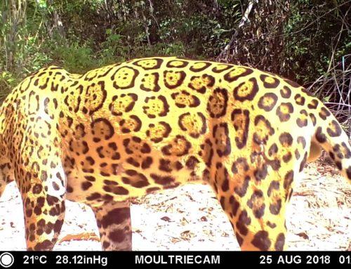 29 de Noviembre Día Internacional del Jaguar