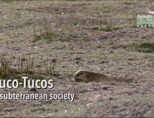 Tuco-Tucos, a subterranean society